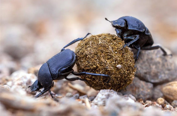 DNA found inside the guts of dung beetles could one day be used to infer a region's biodiversity